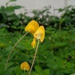 Fleur d'arachide origine de l'allergie à l'arachide
